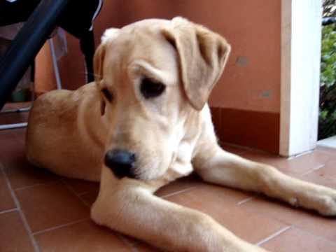 Labrador cucciolo di 5 mesi  YouTube