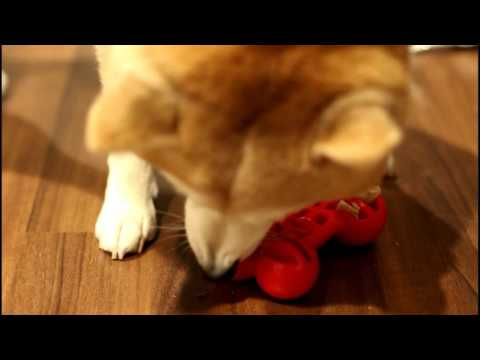 Shiba Inus get enrichment toys: JW bone with dehydrated chicken