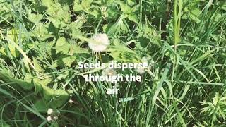 How to make an exploding seed pod - Seed Dispersal - Mrs Holdstock Teaching and Learning Ideas