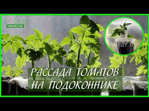 Рассада томатов на подоконнике в квартире и без подсветки! Стоит ли выращивать?