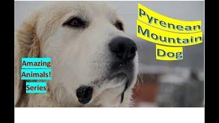 Pyrenean Mountain Dog | Amazing Animals | Pet Dogs