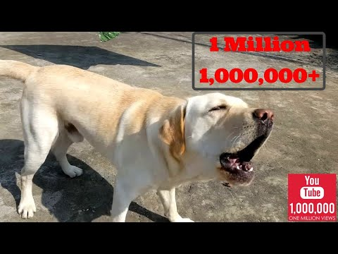 Labrador barking hardcore