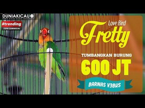 SENGIT!! Love Bird FRETTY Podium Utama Mengalahkan Burung 600 Jt Pada PIALA PANGLIMA TNI