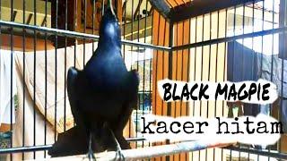Kicau kacer hitam langka l kacer gacor l black magpie | chôe than black