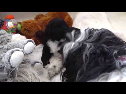 Yare Portuguese Water Dogs - Puppy Aria plays with Auntie Sansa