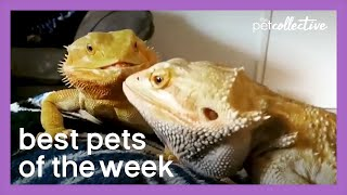 A Very Confused Dragon | Best Pets of the Week