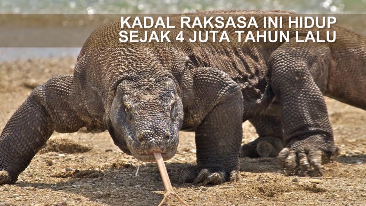 Komodo Kadal Raksasa Kebanggaan Indonesia Youtube