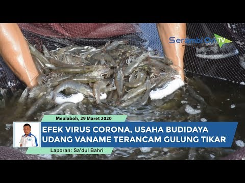 Pengusaha Udang Vaname Di Aceh Barat Terancam Gulung Tikar