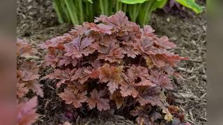 Растения для сада с декоративными листьями