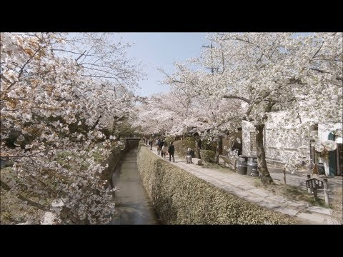 Japan | Cherry Blossoms in Kyoto - Philosopher's Path