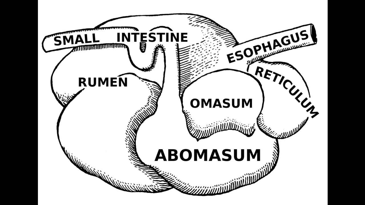 Fases Digestivas en Ovinos - YouTube