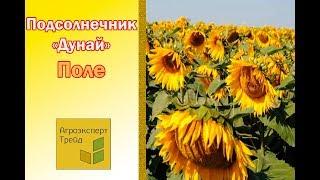 ДУНАЙ 🌻 - Гибрид подсолнечника сербского в Украине 🌻