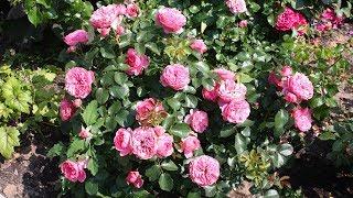 Как встретить год свиньи Розы для поросенка! Розы от Гаршинки