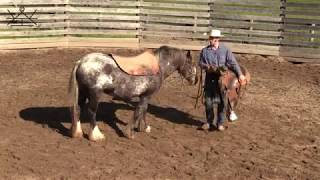 Starting a Gypsy Vanner Under Saddle Day 2 | Colt Starting with Colton Woods Horsemanship