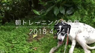 猟犬ですから怪我は付き物です。 今までも枝とかイバラなどで足が傷つい...
