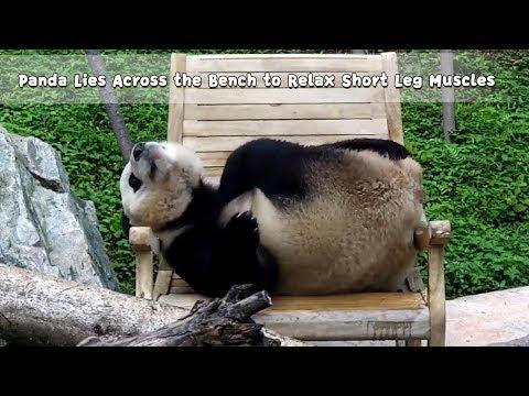 PandaLiesAcrosstheBenchtoRelax Short Leg Muscles | iPanda