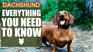 Dachshund 101! Everything You Need To Know About The Dachshund!