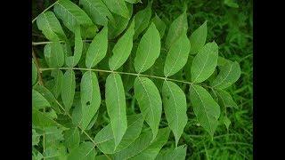 ★Лечебные свойства листьев грецкого ореха. Возьми чайную ложку листьев ореха, завари крутым кипятком