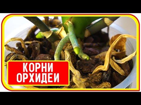 Почему корни у орхидей не растут и не цветет фаленопсис. Why phalaenopsis roots don't grow