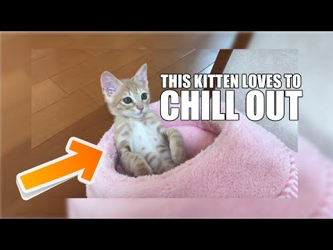 Best of Cats: Cute kitten loves to chill out.