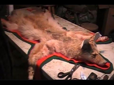 Making A COYOTE RUG - Video 3 Of 5 - TAN, BREAK, BURRS