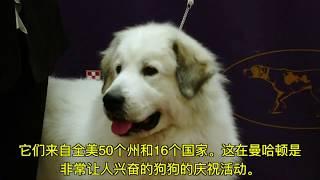 3千多只狗狗亮相142届#西敏寺犬展,中国品种狗狗  成了亮点,包括#西施...