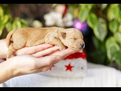 Щенки породы Лейкленд терьер  (Lakeland Terrier Puppies) -  1 серия