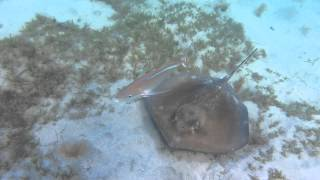 Stingray And Bar Jack St John Usvi