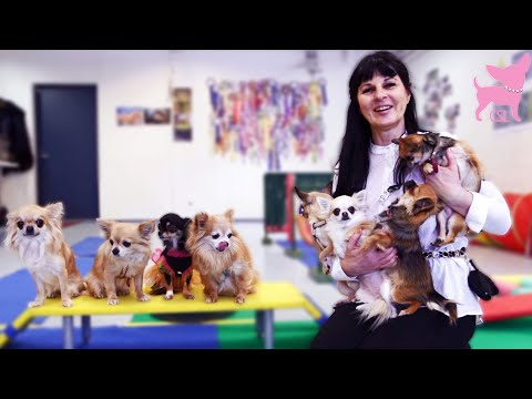 Cute Chihuahua Puppy Dog Tricks at Tiny Dog School