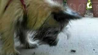 Cairn Terrier Suki Loves Bugs - Recently Stripped 6 Mo's