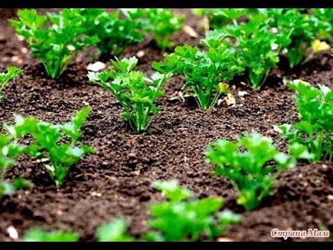 Сеем семена Петрушки простым,надежным способом. - Смотреть видео онлайн