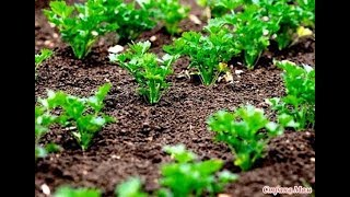 Сеем семена Петрушки простым,надежным способом.