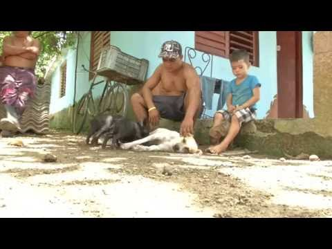 Dog nurses orphaned piglets in Cuba - 09/2016