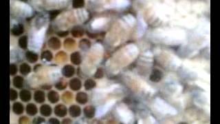 Итальянская пчелосемья и ее развитие на 26 апреля 2015 года