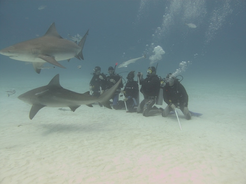 Taucher mit Bullen Haien in Playa del Carmen, Amazing Bull Shark
