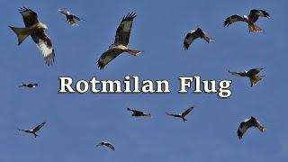 Rotmilan ~ Vögel Von Deutschland