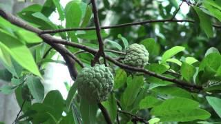 Sugar Apple or Sweetsop Fruit Tree (Tiep Srok) in Suong, Cambodia