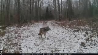Wataha wilków w lesie koło Zielonej Góry. Autor filmu Rico Thierbach