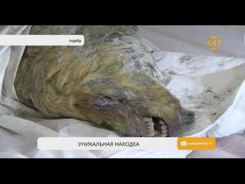 В Сибири найдена голова гигантского древнего волка с шерстью