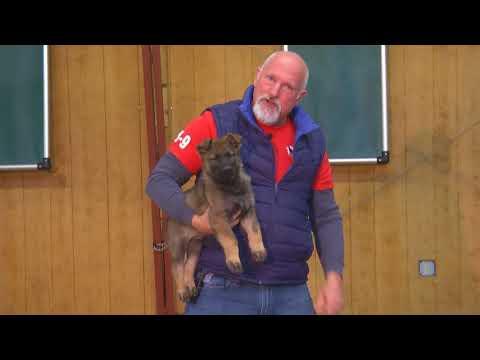 7 Week Old German Shepherd Puppies 'Build A Beast' Candidates 'O' Litter 9/22-17