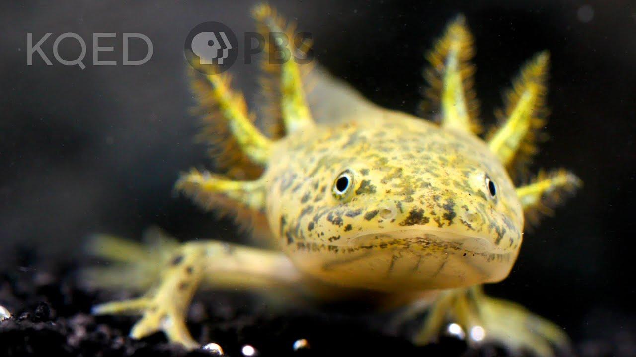 The Axolotl Salamander Doesn't Wanna Grow Up | Deep Look
