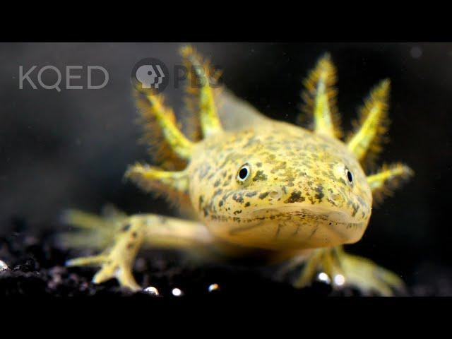 The Axolotl Salamander Doesn't Wanna Grow Up   Deep Look