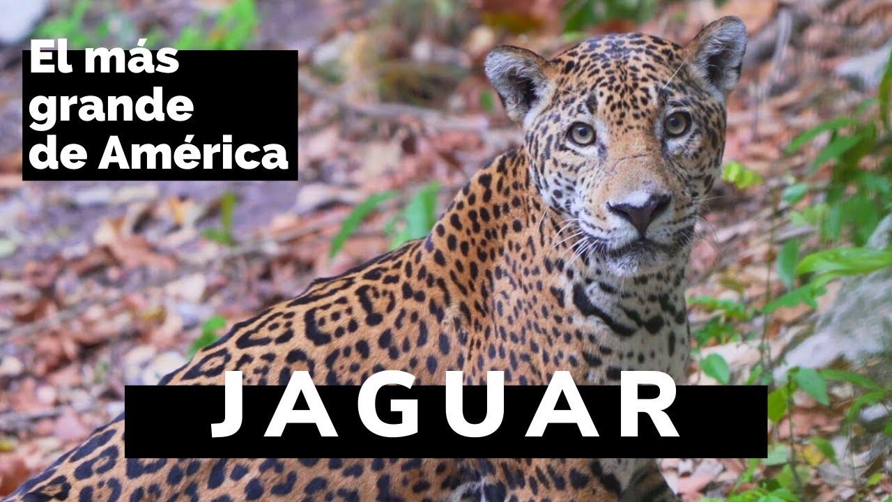 Jaguar (panthera onca) | El felino más grande de América