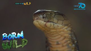 Born to be Wild: King cobra attacks in North Cotabato
