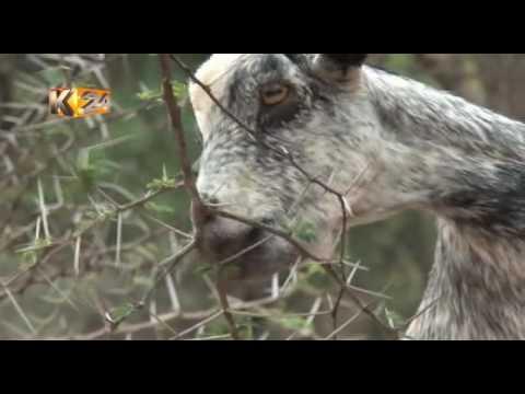 Feeding The Nation : Reviving the Marigat livestock trade