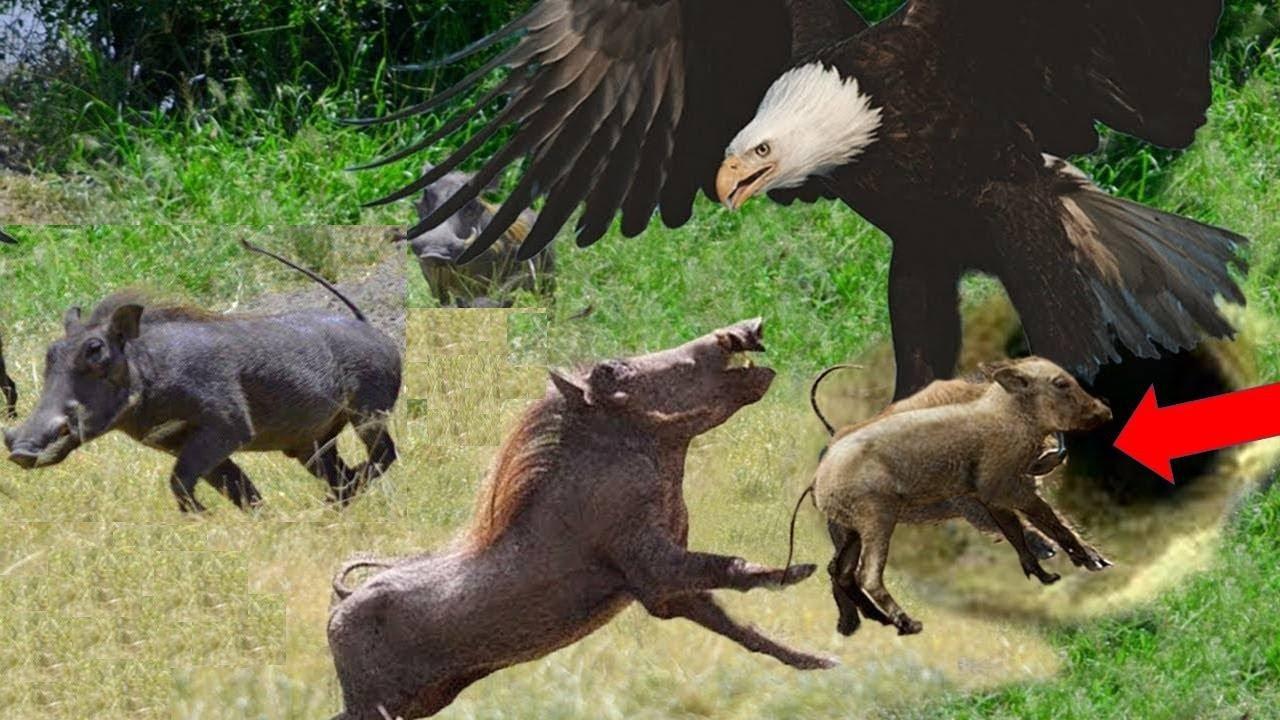 Elang Memangsa Babi Rusa Dengan Cakarnya! Inilah Bukti Bahwa Elang Burung Predator!