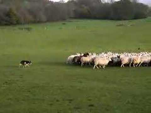 Border Collie Bo working sheep
