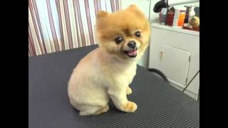 Watch this before you shave a Pomeranian