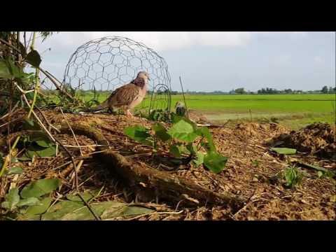 ต่อนกเขาใหญ่ (Spotted dove) Ep6