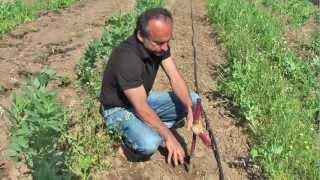 καλλιέργεια ντοματας